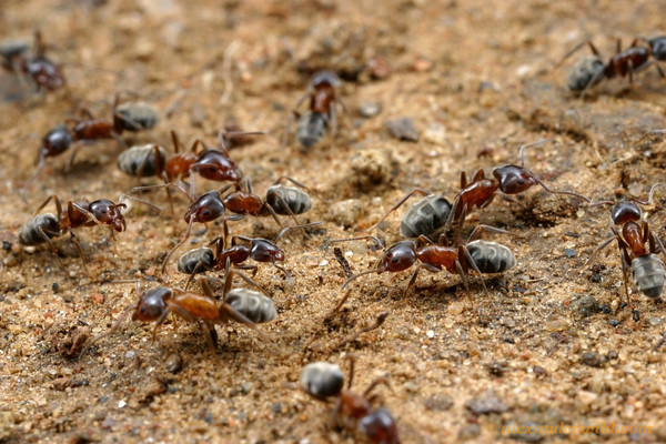 Ant Eradication